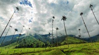 Palmiers de cire de la Vallée de Cocora