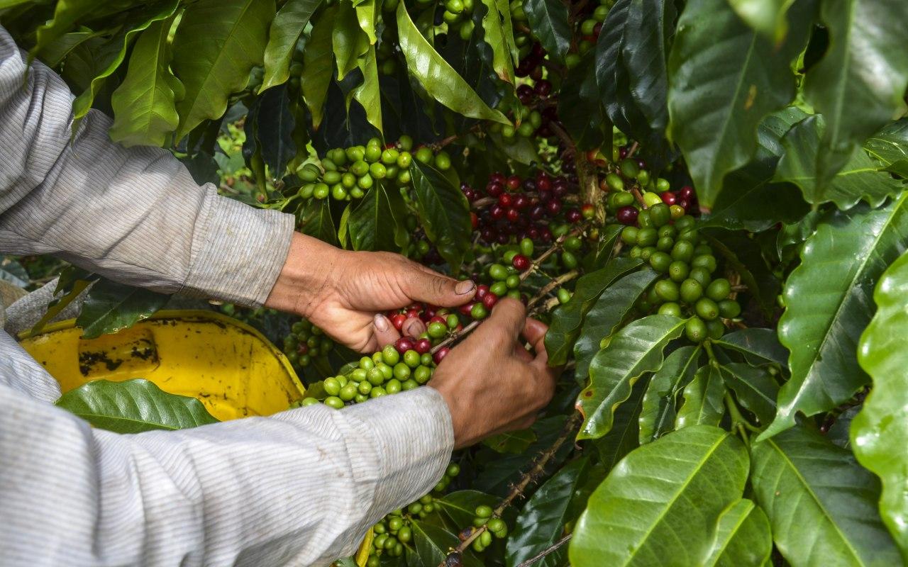 Récolte du café en Colombie