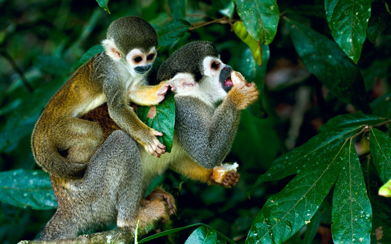 Monkeys in the Amazon rainforest