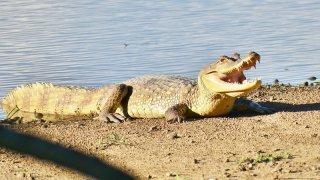 Crocodile, faune du Casanare en Colombie